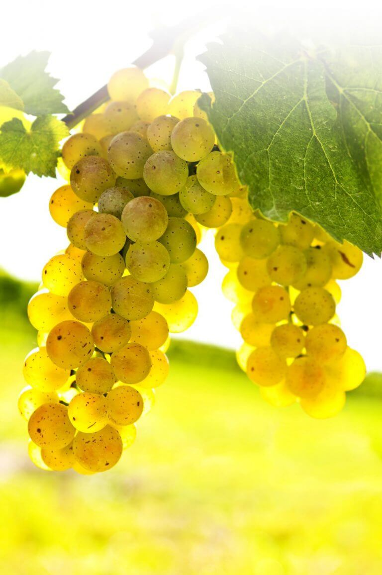 4383636 - yellow grapes growing on vine in bright sunshine