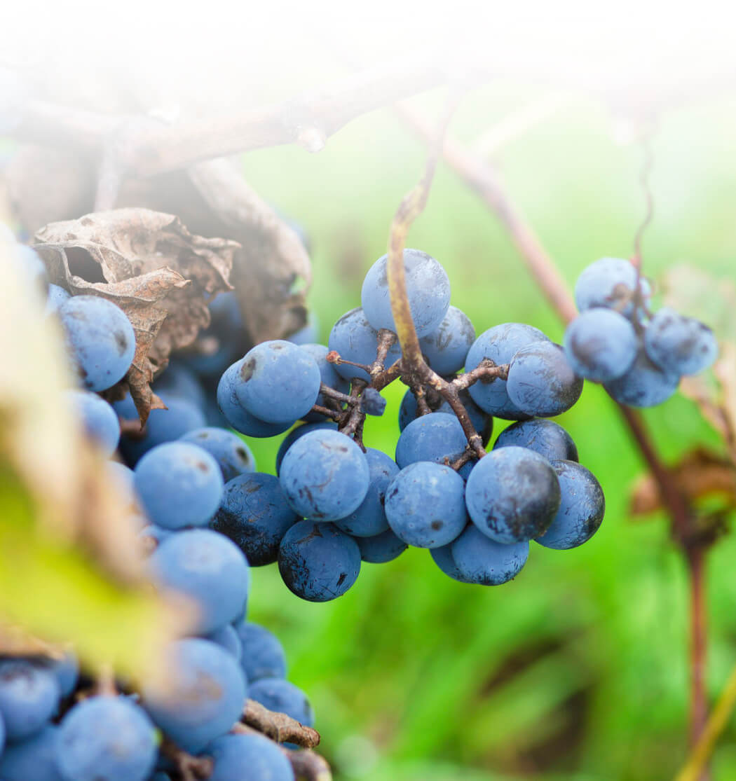 47603151 - clusters of merlot and leaves in bulgarian vineyard. selective focus